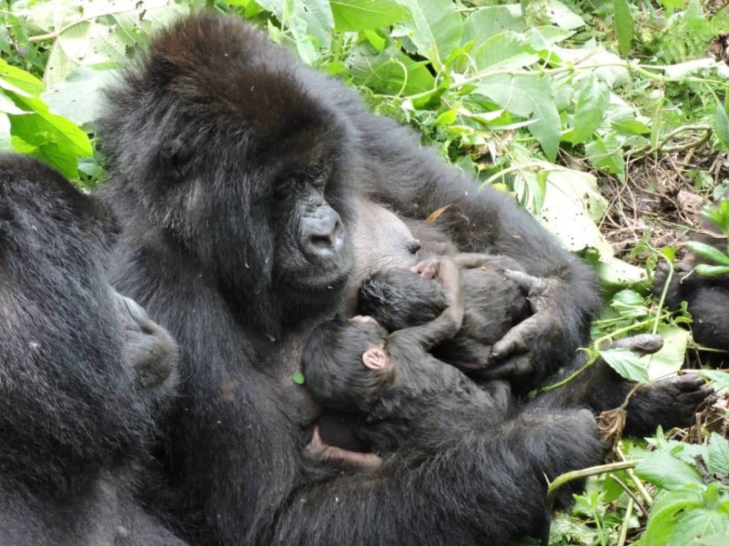 Parc national des Virunga: naissance de jumeaux gorilles au sein de la  famille Nyakamwe (CongoForum) - Congoforum.be