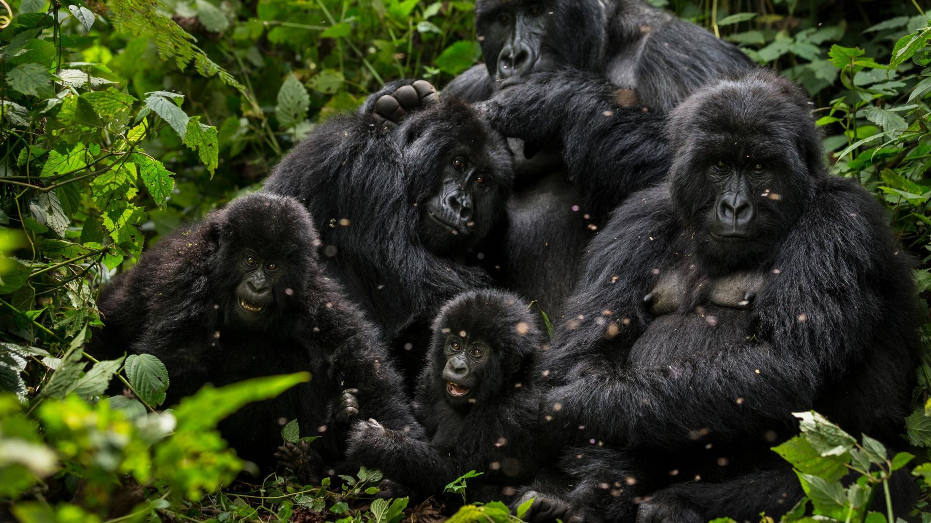 Des voix s'élèvent pour désavouer le gros mensonge de TF1 sur les gorilles de montagne (CongoForum)